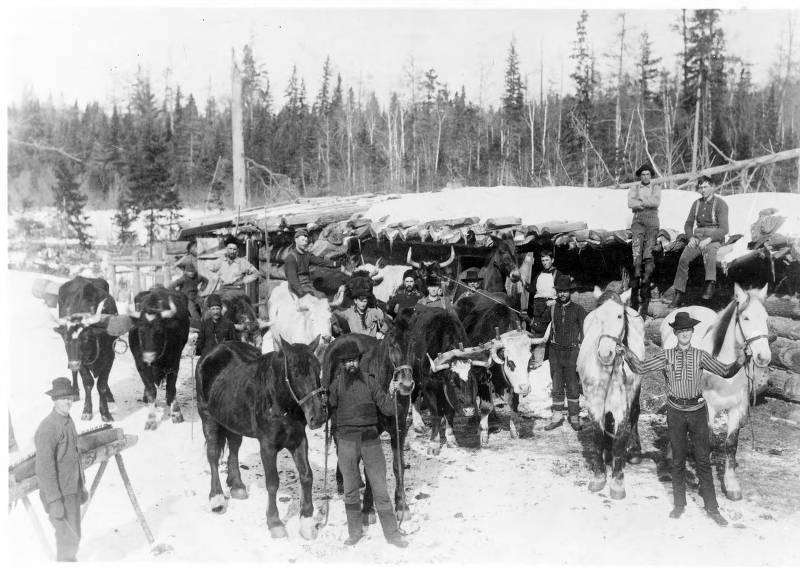 Loggers in camp with horses and oxen. McMillan Memorial Library, Wisconsin Rapids.