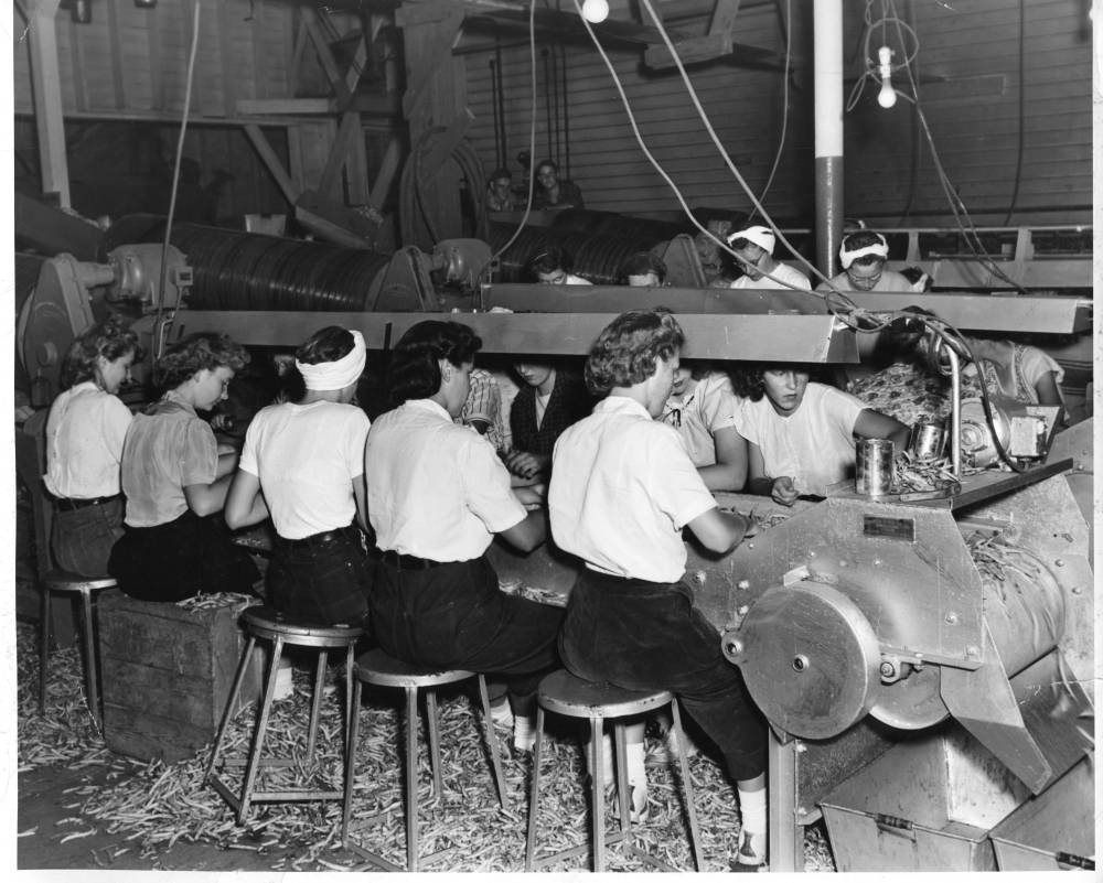 Women seated in rows, sorting beans on conveyer belts.